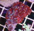 acanthastrea rouge fluo 2